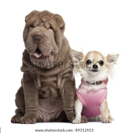 Chihuahua, 3 years old, and Shar Pei puppy, 3 months old, sitting in front of white background - stock photo