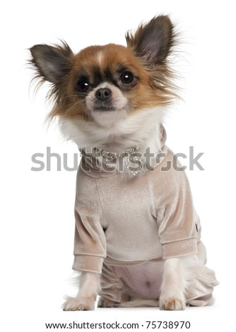 Chihuahua, 2 years old, dressed up sitting in front of white background - stock photo