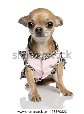 chihuahua (3 years old) in front of a white background