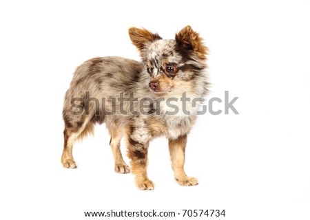 Chihuahua, 4 years old in front of white background - stock photo