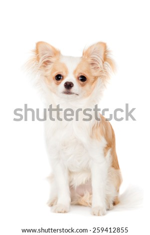 Chihuahua, 3 years old, isolated on the white background - stock photo