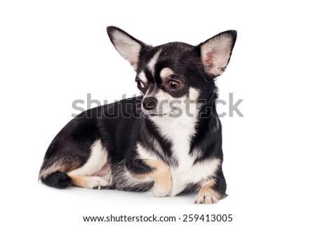 Chihuahua, 2 years old, sitting and looking at camera against white background - stock photo