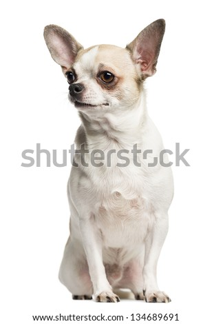 Chihuahua (2 years old) sitting and looking left, isolated on white