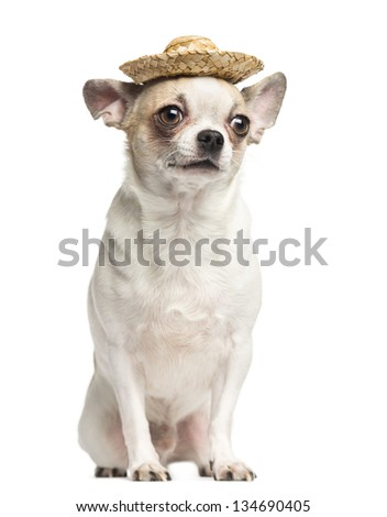 Chihuahua (2 years old) sitting and wearing a straw hat, isolated on white