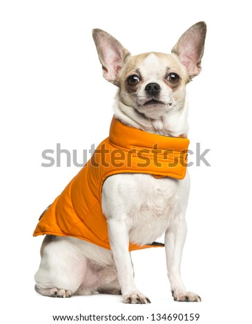 Chihuahua (2 years old) sitting and wearing an orange coat, isolated on white