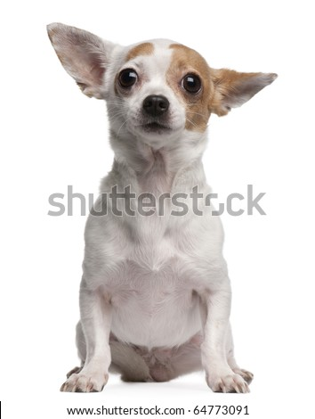 Chihuahua, 2 years old, sitting in front of white background - stock photo