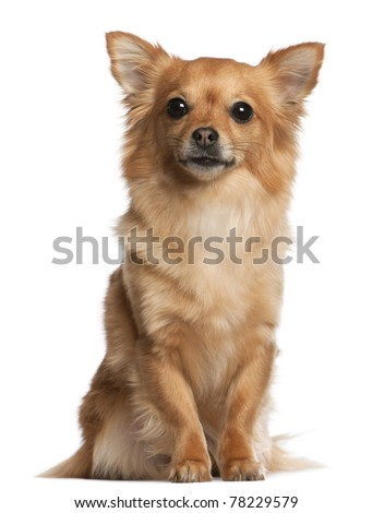 Chihuahua, 3 years old, sitting in front of white background - stock photo