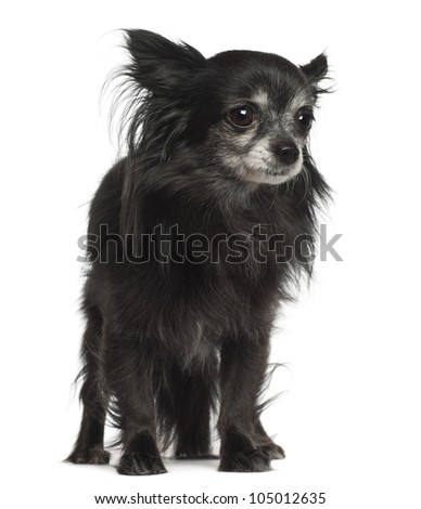 Chihuahua, 8 years old, standing against white background