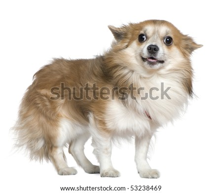 Chihuahua, 4 years old, standing in front of white background - stock photo