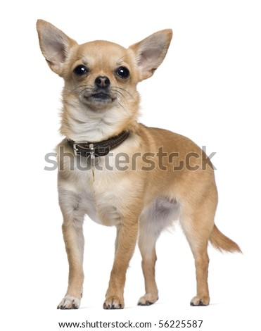 Chihuahua, 2 years old, standing in front of white background - stock photo