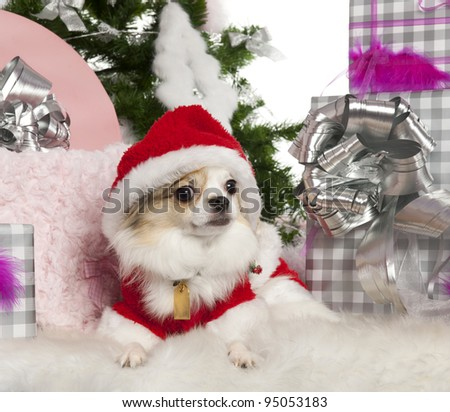 Chihuahua, 2 years old, with Christmas tree and gifts in front of white background - stock photo