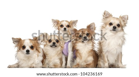 Chihuahuas, 10 months and 3 years old, sitting against white background