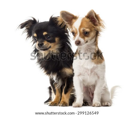 Chihuahuas sitting and staring in front of a white background