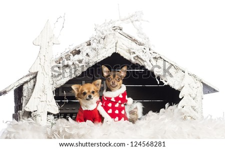Chihuahuas sitting and wearing Christmas suits in front of nativity scene with Christmas tree and snow against white background