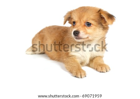 chihuhua puppy isolated on the white background
