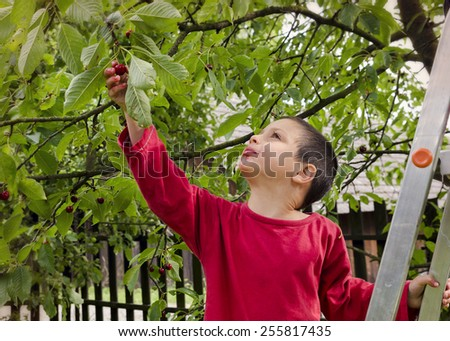 Child boy on a ladder picking and eating cherries from a cherry tree in a garden - stock photo