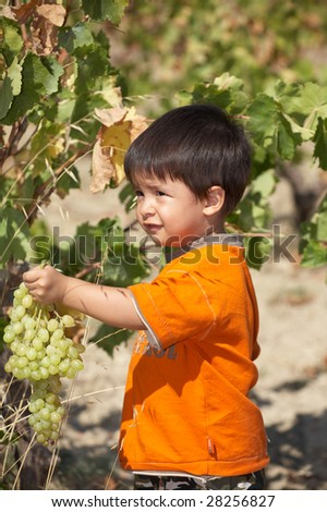 Child collecting grapes very seriously
