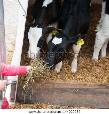 child feeding calves - stock photo