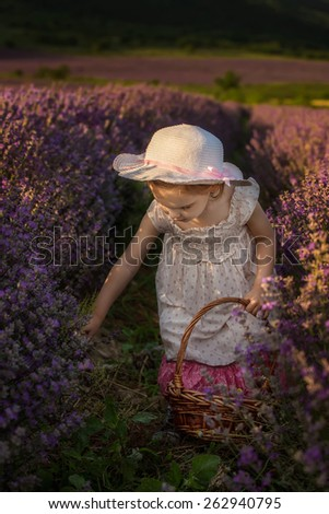 Child harvesting lavender, holding a basket in a lavender field - stock photo