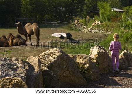 Child looking at camels in the zoo - stock photo