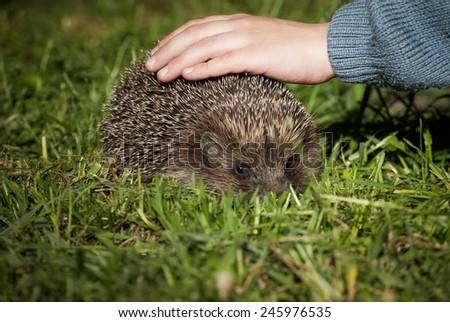 Child petting the hedgehog - stock photo