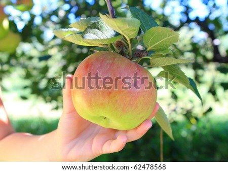 Child picking apple in the orchard - stock photo
