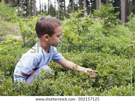 Child picking wild blueberries in a blueberry  forest - stock photo