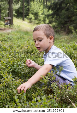 Child picking wild blueberries in a blueberry  forest