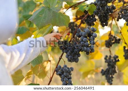 child's hand reaching for grape berry - stock photo