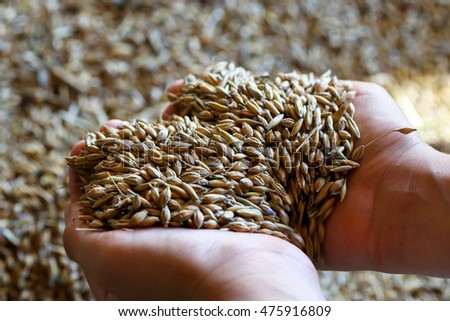 Child's hands holding heart shaped mixed seeds of barley and oats. Freshly harvested.