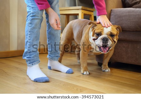 Child stroking English bulldog in the room