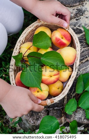 Children hand take a wooden basket with fresh ripe apricots. Selective focus. Top view