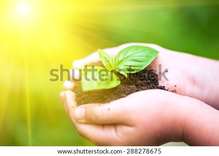 Children hands holding a green young plant (basilic plant) in sunlight. - stock photo