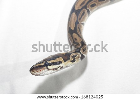 children pythons white background - stock photo