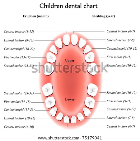 Children Teeth anatomy. Shows eruption and shedding time. Dental titles. - stock photo