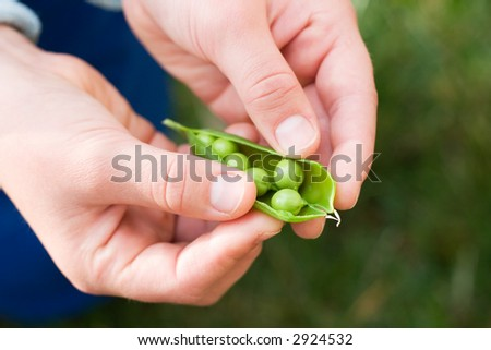 Childs hands hold one pea pod and cracking it in backyard in own garden