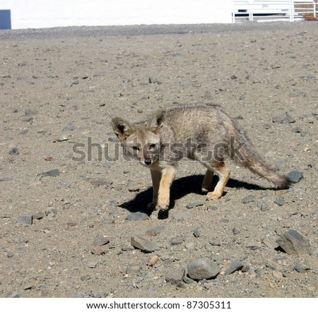 Chile: an Atacama Desert fox comes to visit the European Southern Observatory telescopes in La Silla. Known also as South American gray fox (Lycalopex griseus), Patagonian fox,or Pseudalopex griseus.