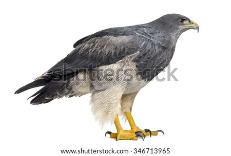 Chilean blue eagle - Geranoaetus melanoleucus (17 years old) in front of a white background