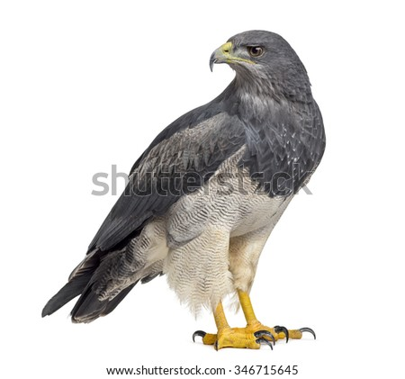 Chilean blue eagle - Geranoaetus melanoleucus (17 years old) in front of a white background - stock photo