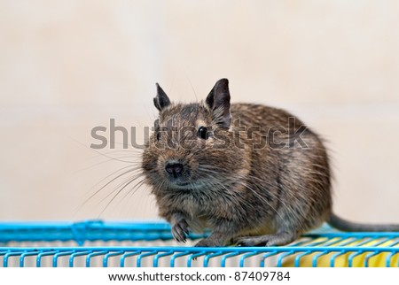 Chilean Degu sits on a cage - stock photo