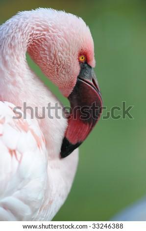 chilean flamingo 3 - stock photo