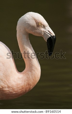 Chilean flamingo (Phoenicopterus chilensis) close up