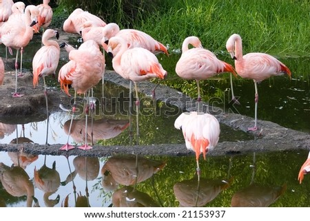 Chilean Flamingo (Phoenicopterus chilensis) is a large species (110-130 cm) closely related to Caribbean Flamingo and Greater Flamingo, with which it is sometimes considered conspecific.