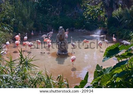 Chilean Flamingos - stock photo
