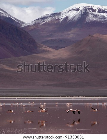 Chilean Flamingos fly over Red Lagoon in Bolivia