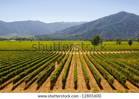 chilean vineyards in late summer in vina del mar, close to the capital santiago de chile - stock photo