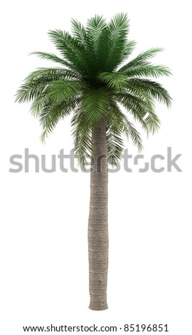 chilean wine palm tree isolated on white background - stock photo