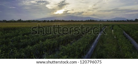 chili field - stock photo