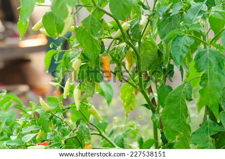 chili in garden. - stock photo