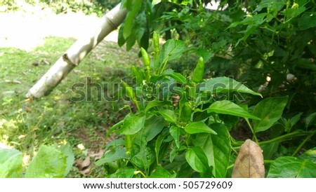 Chili pepper trees
